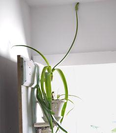 Uncommon indoor plant: the Pregnant Onion (Ornithogalum longibracteatum).    #gardens #houseplants