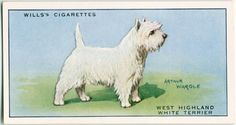 Dogs Dog Artwork, West Highland White, White Terrier, Vintage Dog, New York Public Library, Old Postcards, Westies, Scottie, Art Drawings