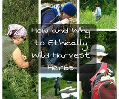 How and Why To Wild Harvest Herbs