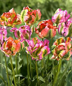 Parrot Tulips – 'Exotic Wave' and 'Green Wave' . Are truly wonderful blowing in the breeze.