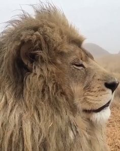 Animated HD GIF of a lion returning and staring at camera. Wildlife Nature, Nature Animals, Animals And Pets, Baby Animals, Funny Animals, Cute Animals, Beautiful Cats, Animals Beautiful, Tierischer Humor