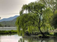 A beautiful weeping willow tree.