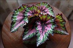 Begonia (Begonia rex-cultorum)  Tallo ramificado de hojas cordiformes, consistentes, híspidas con magnificas variaciones y de matices muy diversos. Reflejos plateados. El aparato radical es rizomatoso.  http://www.plantasinterior.com/begonia-begonia-rex-cultorum/