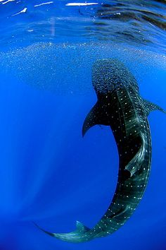 Whale Shark recently spotted off Jupiter Beach, Florida.. wow!