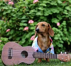 14 Best Jobs For Your Dachshunds – The Paws Weenie Dogs, Dachshund Puppies, Dachshund Love, Cute Puppies, Cute Dogs, Dachshunds, Doggies, Baby Dogs, Beautiful Dogs