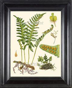 ANTIQUE FERN Lindman 8X10 Botanical Art Print 1 by LoveThePrint