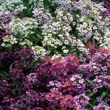 Strandkrassing 'Golf Bright' Lobularia maritima, Fjärilsväxter, fjärilsträdgård, butterfly garden plant