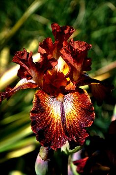 Irises....these are not the colors I usually go for but I'm really loving this one..