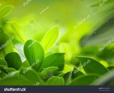 Closeup Nature View Green Leaf On ภาพสต็อก (แก้ไขตอนนี้) 316000997 Green Leaves, Plant Leaves, Green Leaf Background, Nature View, Close Up, Stock Photos, Plants, Plant, Planets