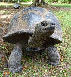 Aldabra Giant Tortoise. An introduction to Seychelles' Giant Tortoises