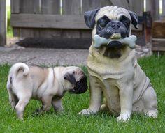 Cute Pug Puppy Our new pug puppy 'Boo'