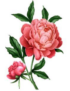 Flowers vintage tattoo flora New ideas Vintage Blume Tattoo, Vintage Flower Tattoo, Vintage Flowers, Tattoo Vintage, Peony Drawing, Peony Painting, Watercolor Flowers, Botanical Drawings, Botanical Prints