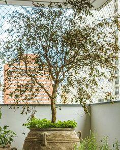Sim! Podemos plantar algumas frutíferas em vasos e na sua varanda  neste vaso plantamos a Jabuticabeira. #frutiferas #jabuticabeiraemvaso #varandas #sacadas #paisagismodevarandas #paisagismoemvasos #meioambiente #sustentabilidade #mihortasuhorta #frutaemcasa #orgânicos #paisagismo #composição #alimentaçãosaudável #diretodopé #frutas by mihortasuhorta http://ift.tt/1O1vodS