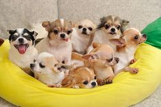 Chihuahua puppies #chihuahua #chihuahualoved  #puppyparty