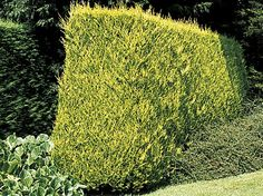 When and how to trim a hedge. Leyland Cypress: Trim in April, July and late August but don't cut back into brown growth. Lawsons cypress is similar