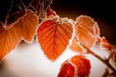 Frozen leaves by Olivier Ferrari on 500px