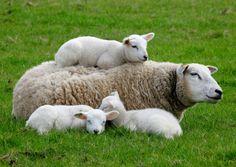 Moederschaap ligt met 3 lammetjes lekker te doezelen in de groene wei. Twee lammetjes aan haar zijde en eentje ligt lekker op de rug van moederschaap.  Deze kaart verstuur je via www.kaartje2go.nl