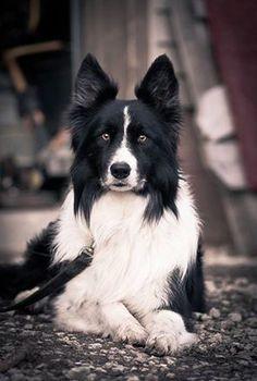 Pretty dog, Border Collie?