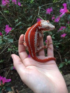 reptiles and amphibians high saturation red stripe gargoyle gecko Reptiles Et Amphibiens, Cute Reptiles, Cute Lizard, Cute Gecko, Red Lizard, Cute Creatures, Beautiful Creatures, Animals Beautiful, Cute Little Animals