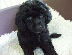 Miniature Poodle Puppies for sale, 3 black girls left. White Toy Poodle, Black Standard Poodle, Standard Poodles, Black Miniature Poodle, Miniture Poodle, Little Puppies, Baby Puppies, Poodle Puppies, Poodle Mix
