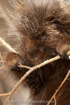 Porcupine by Stewart Stick on 500px