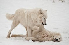 Wolves- reminds me of my brother Mark :(  Beautiful!