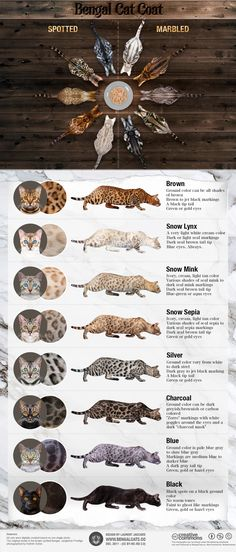 Bengal Cat Coat: Colors and Patterns [Infographic) https://www.bengalcats.co/bengal-cat-colors-patterns/