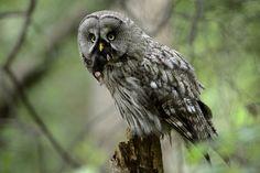 Great Grey Owl catching a European Mole