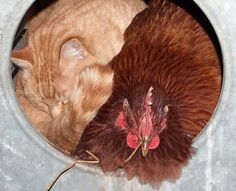 really? folks, this is a rooster and a curled up cat sharing a round metal chicken coop together!!!