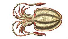 Le nom seiche est attribué à différents mollusques. Il provient du latin #sepia qui désigne à la fois ce genre d'#animaux ou leur encre (qu'on appelle aussi sépia en français) #bestiaire #numelyo #aquatique #océan