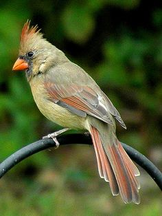 Olive and burnt Umber Female Northern Cardinal.always beautiful Small Birds, Colorful Birds, Pretty Birds, Beautiful Birds, Bird Pictures, Animal Pictures, Animals And Pets, Cute Animals, Cardinal Birds