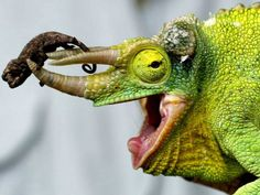 A Newly Born Jackson's Chameleon Rests on its Dad's Horns Photographic Print - Baby Cute Reptiles, Reptiles And Amphibians, Mammals, Geckos, Mundo Animal, Bearded Dragon, Exotic Pets, Beautiful Creatures, Cute Animals