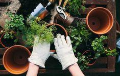 Amazon Alexa Could Help Grow Your Garden | Apartment Therapy Easy Herbs To Grow, Growing Herbs, Vegetable Garden Tips, Herb Garden, Balcony Garden, Garden Art, Gardening Gloves, Gardening Tips, Plant Diseases