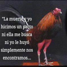 #gallos #gamefowl #sabonglife #sabong #gallosfinos #rooster #cocks