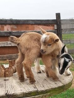 Kids of Kaitlin's Nigerian Dwarf Goats