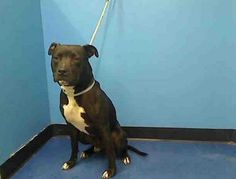 NYC, NY....**URGENT!!** Manhattan Center  WAYNE - A0961993 *** NH ONLY ***  MALE, BLACK / WHITE, PIT BULL MIX, 1 yr, 6 mos Please share Wayne he will be on the list tonight :( https://www.facebook.com/photo.php?fbid=598082726871277=a.161896683823219.39456.152876678058553=3