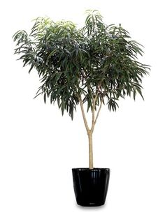 Ficus Alii plant -- indoor care and air filtering benefits.