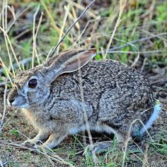 Belonging to the Leporidae family the adaptive scrub hare is a common encounter on game drives. Their ideal habitat is in grassy areas with enough cover to hide from predators. African Safari, Predator, Hare, Lodges, Habitats, Scrubs, Ranger, Wildlife, Cover