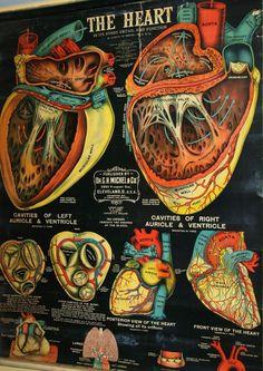 Anatomía del corazón según póster de 1890
