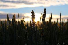 Wheat by Jevgeni Blinov on 500px