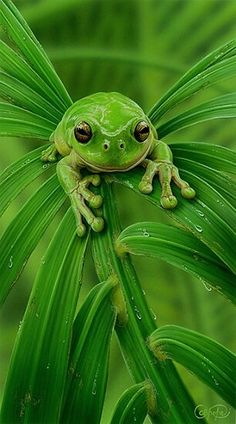 Mmm ahh went the little green frog one day.mmm ahh went the little green frog! Beautiful Creatures, Animals Beautiful, Cute Animals, Happy Animals, Green Animals, Beautiful Toes, Green Tree Frog, Cute Frogs, Tree Frogs
