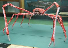 Japanese Spider Crab is known to be the largest among all living arthropod species with its leg span exceeding 15 feet m). Crab Spider, Giant Spider, Bizarre Animals, Unique Animals, Crab Species, Glaucus Atlanticus, Daddy Long, Weird Creatures, Animals Of The World