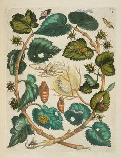 thegetty: Maria Sibylla Merian and her daughters were pioneers of natural history illustration and entomology. Among other achievements, at age 52 Maria Sibylla sold most of her belongings and set sail for the Dutch colony of Suriname. That was in 1699. Mulberries, caterpillars, and moths, Maria Sibylla Merian, in De Europische insecten (European Insects), 1730. The Getty Research Institute