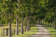 Gum tree drive, Australia