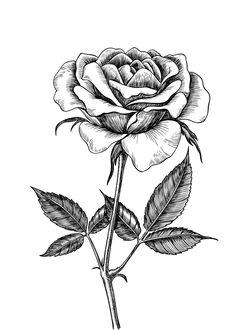 Rose drawing Art Print by katerinamitkova Rose drawing Art Print by Katerina Kirilova - X-Small Bird Drawings, Pencil Art Drawings, Art Drawings Sketches, Drawing Art, Fruit Coloring Pages, Detailed Coloring Pages, Rose Sketch, Flower Sketches, Flower Drawing Images