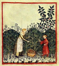Harvesting Dill. Notice basket with the handle and the apron is a clothe just tied behind the back.