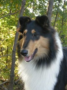 Tri-Colored Collie Dog. Ours was named Winnie the Pooh. We called him 'Pooh'.