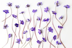 blue viola flowers on white background flat lay top view