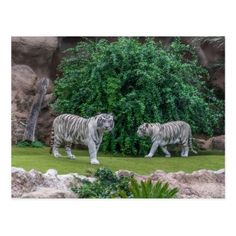 White tigers postcard - animal gift ideas animals and pets diy customize