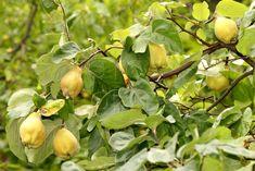 Ovocná zahrada může být krásná i zajímavá - Zahrada Fruit, Vegetables, Vegetable Recipes, Veggies